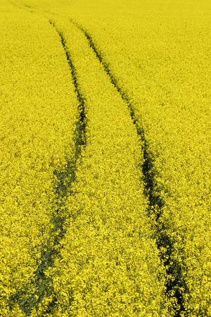 oilseed: Field of flowering oilseed Stock Photo