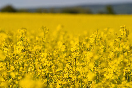 oilseed: Oilseed field