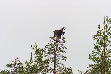 sea eagle: Sea eagle sitting in a treetop Stock Photo