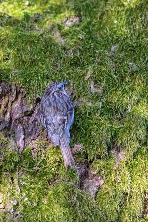 Eurasian Treecreeper on a tree trunk Stock Photo