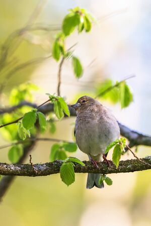 Chaffinch on a branch of the tree in spring