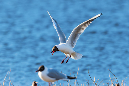 seabird: Black-headed gull which to land