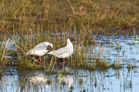 sweden resting: Couples Black-headed gulls sitting on the beach at the water