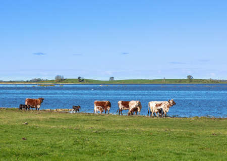 Cows with calves on the beach by the lake Stock Photo