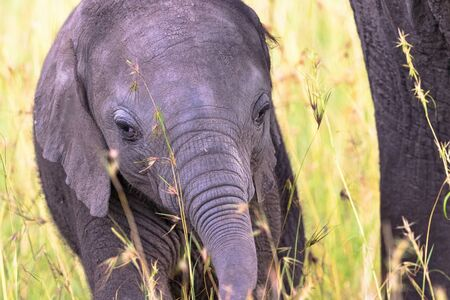 nosey: Elephant calf in the grass of the savannah Stock Photo