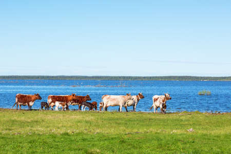 Flock of cows on the beach by the lake in summer