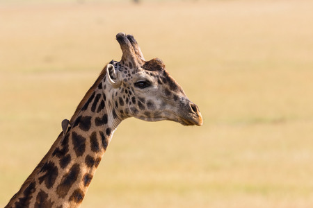Giraffe portrait in the savanna Stock Photo