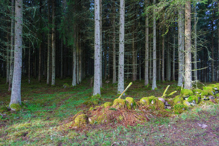 treetrunk: Stone wall the spruce forest Stock Photo