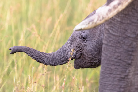 nosey: Elephant calf in the grass by her mothers side