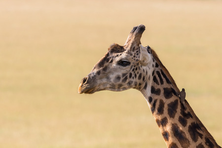 oxpecker: Giraffes with a oxpecker seated on the neck