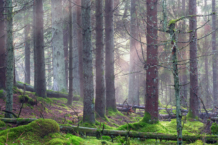 treetrunk: Old natural forest with fog Stock Photo