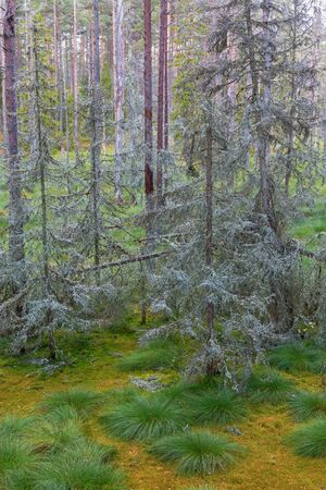 Spruce trees with lichen in the woods Stock Photo