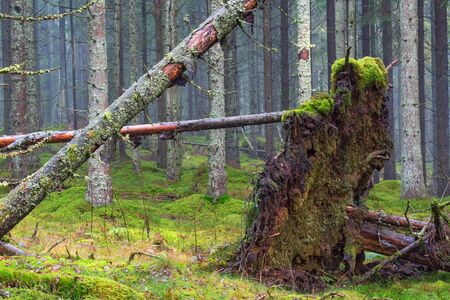 Uprooted tree in coniferous forests