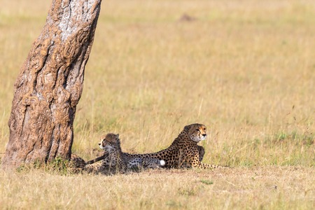 cheetah cub: Cheetah with cubs lying down and looking on the savanna