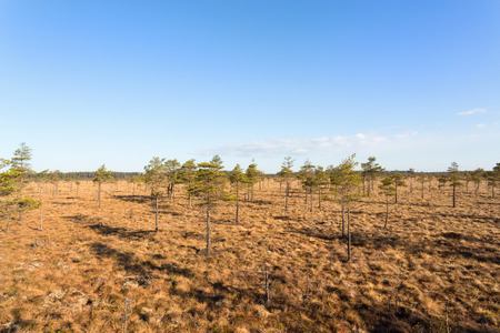 mire: Mire landscape with pine trees in the spring