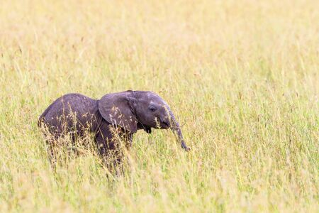 nosey: Elephant calf standing in the grass and watching Stock Photo