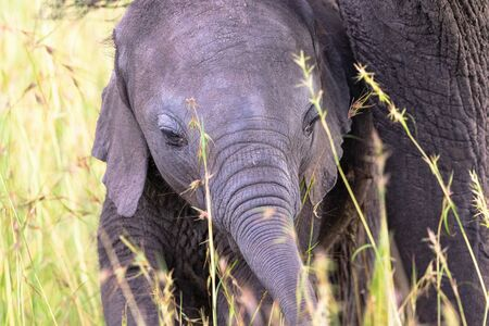 nosey: Elephant calf at her mother in the grass Stock Photo