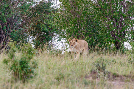 insidious: Stealthy Lion in the grass