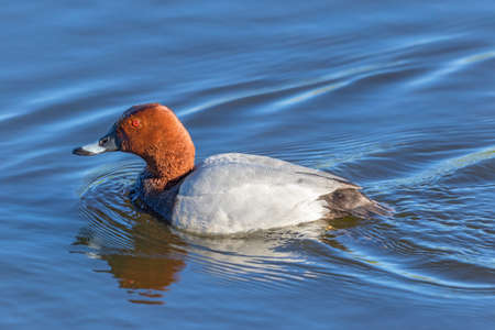 Pochard swimming in the water Stock Photo