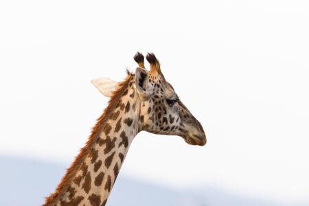 potrait: Giraffe in potrait against the sky