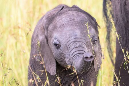 nosey: Elephant calf in the grass playing with his trunk Stock Photo