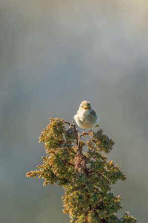 sitt: Willow warbler singing from a juniper twig Stock Photo