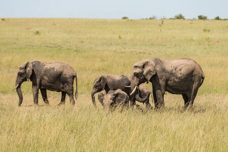 masai mara: Elephants on the savanna in Masai Mara national park
