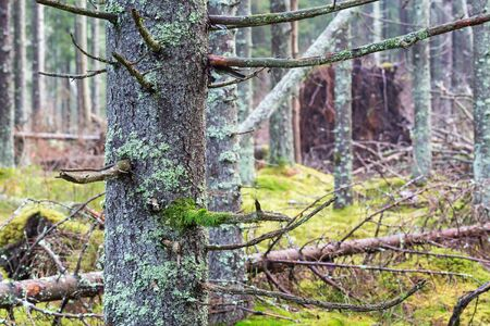 spruce tree: Spruce tree trunk with moss i a forest Stock Photo