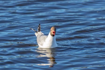 Screaming Black-headed gull on the water