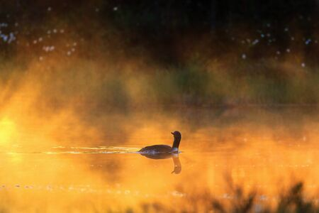 Red throated loon in a misty morning light in a forest lake Stock Photo