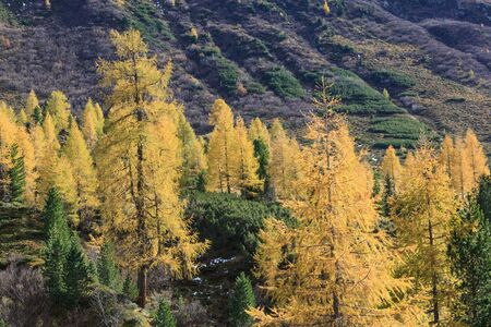 larch tree: Larch tree forest in the Alp landscape Stock Photo