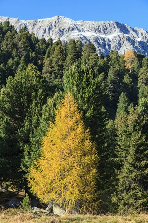 larch tree: Autumn Larch tree valley in the Alps Stock Photo