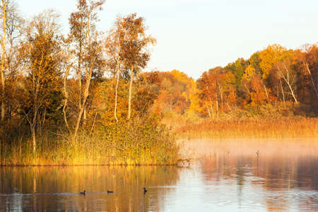 crested duck: Dawn mist in the autumn with Great crested grebes in the lake