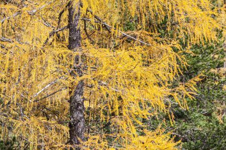larch tree: Autumn Larch tree with yellow needles
