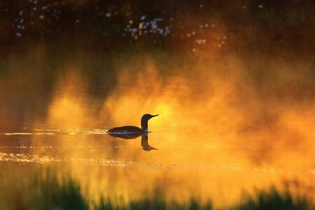 Red throated loon in a misty dawn