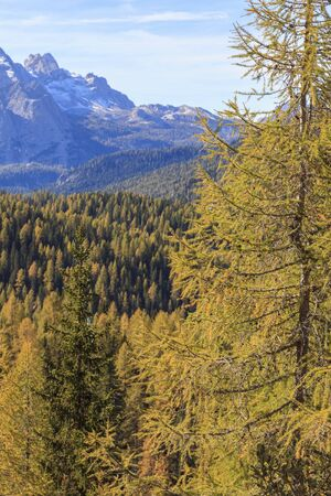 larch tree: Autumn in Larch tree forest in the Alps Stock Photo