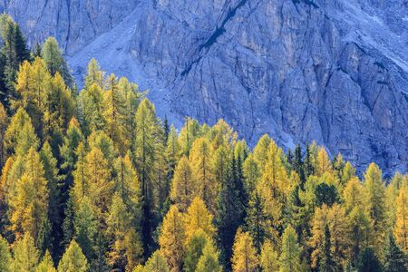 larch tree: Autumn Larch tree forest in the Alps
