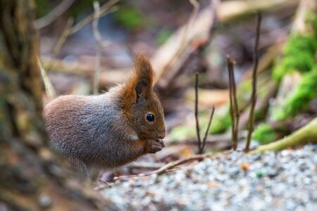 sitting on the ground: Red Squirrel sitting and eating on the ground
