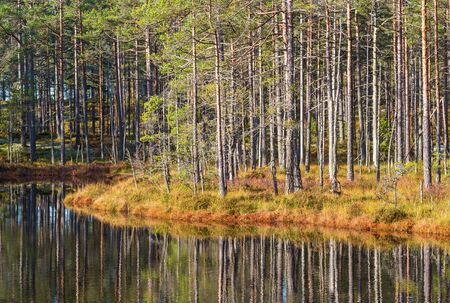 Pine forest at the lake with reflections in the water
