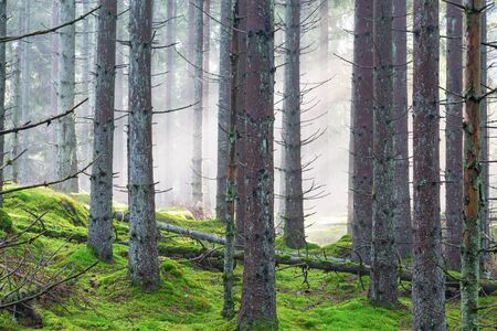 treetrunk: Spruce forest with morning fog