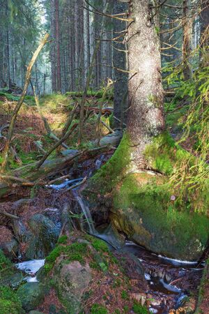 Forest Creek in the ancient coniferous forest