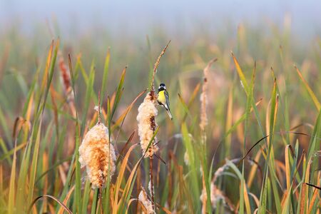 Great tit sitting on a bulrush straw in the wetland