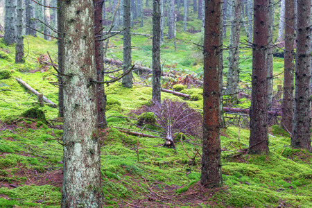 Coniferous forest with fallen trees