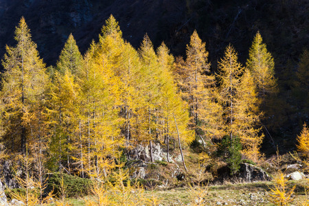 larch tree: Larch tree forest in autumn