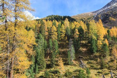 osttirol: Autumn forest in the Alps