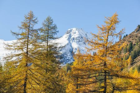 Larch tree forest and snowcapped mountains peaks