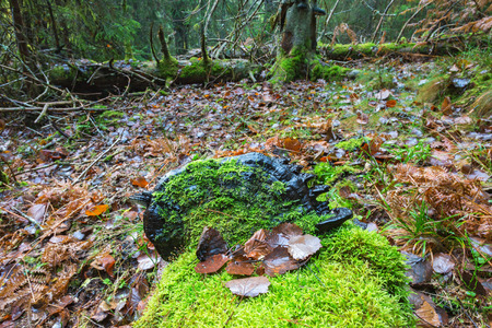 Green moss and a black polypore mushrooms in the woods