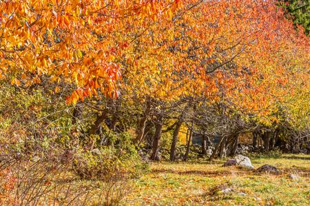 treeline: Cherry Trees in the autumn into a pasture