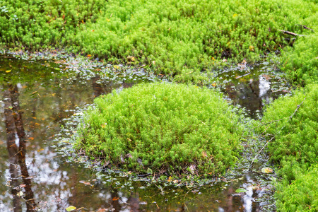 bogs: Moss that grows on a small water puddle in the woods Stock Photo