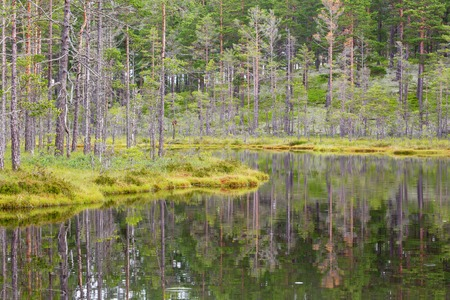 bog: Pine trees growing on the bog at the forest lake Stock Photo
